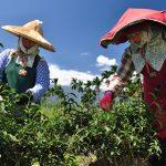 Sběrači čaje Taiwan