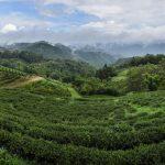Všudypřítomné čajové plantáže nabízí úžasnou podívanou