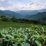 Čajové lístky místní odrůdy čajovníků