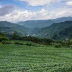 Čajové plantáže v oblasti Pinglin nádherná zelená