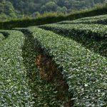 Keře čajovníků připravené pro další sklizeň čaje