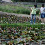 Lotosová políčka můžete obdivovat během procházky