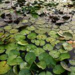 Lotosové pole na ploše několika hektarů