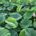 Lotosová zeleň kam jen oko dohlédne