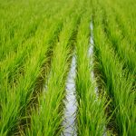 Rýžové pole poblíž Hualienu